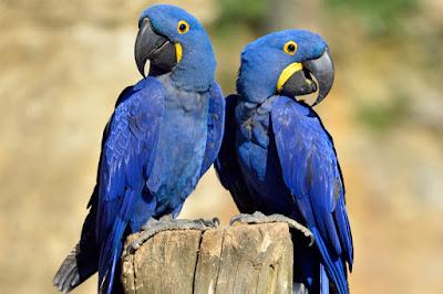 Ararinha-azul é considerada extinta na natureza