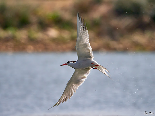 Tern between Water and Land