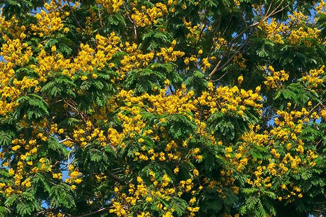 Pau-ferro – Uma medicina natural completa para sua saúde