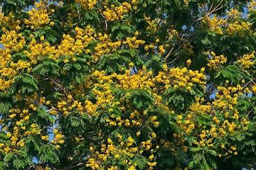 Pau-ferro – Uma medicina natural completa para a saúde