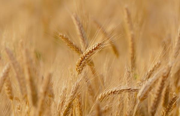 ¿Pueden las mejores variedades de trigo ser aún mejores?
