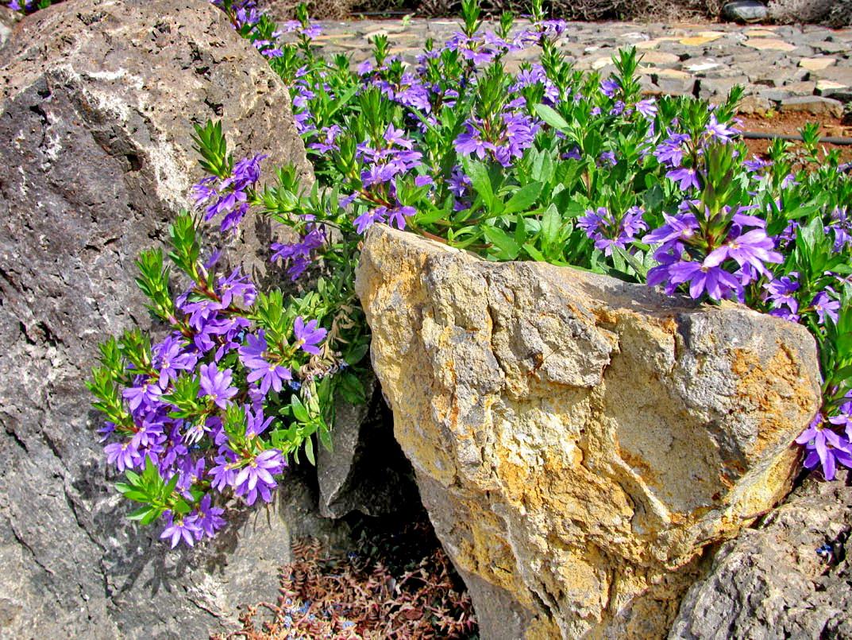 rocks with purple flowers