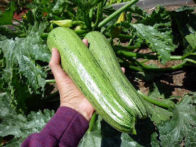 Foods For Long Life Does Your Zucchini Begin To Fruit And