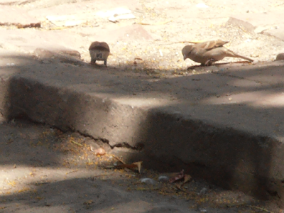 Sparrow bird information