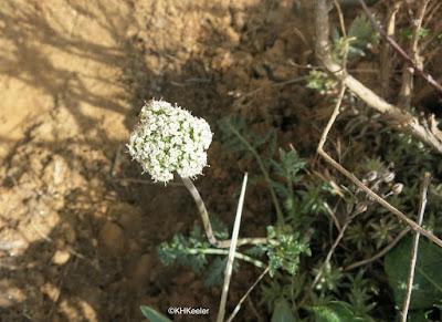 salt and pepper, Lomatium orientale