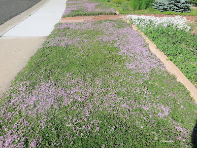 lawn of thyme
