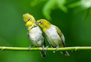 termasuk burung favorit yang banyak dipelihara Rajajangkrik-info terkini 2020, Tips Mudah Beternak Burung Pleci