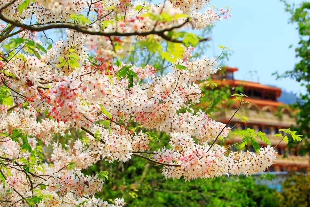 南化也有賞櫻打卡熱點 玉山寶光聖堂「花旗木」芬芳綻放中
