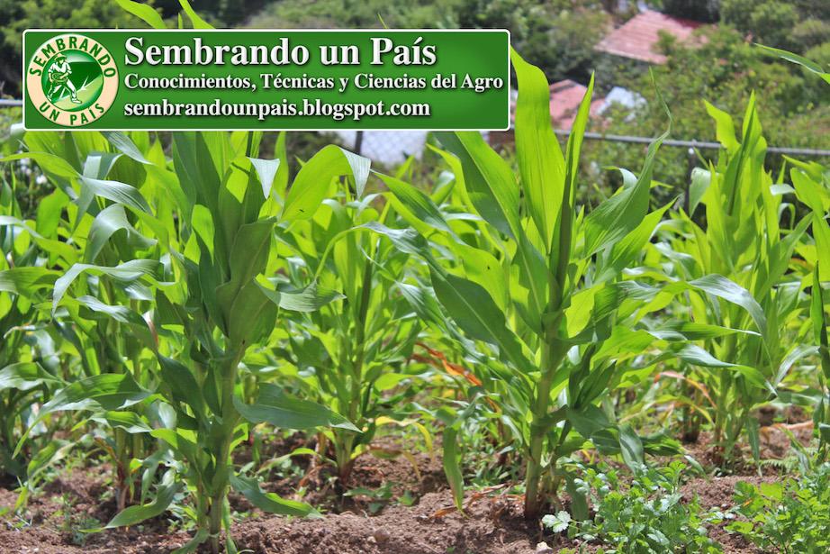 marco de plantación del maíz