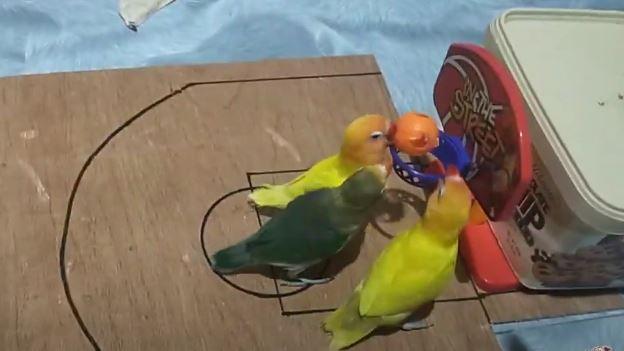 شاهد بالفيديو.. طيور صغيرة تكشف عن مهاراتها الفائقة في مباراة كرة سلة