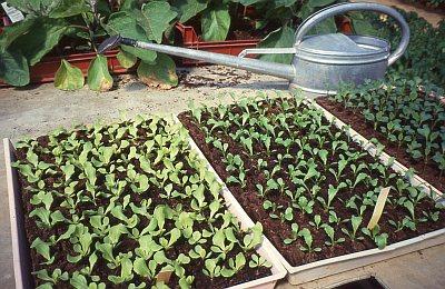 Aussaat und Jungpflanzenanzucht im Gewächshaus