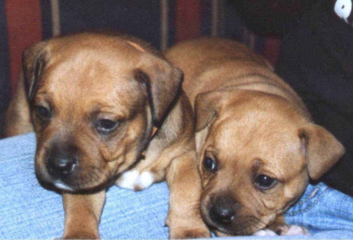 Staffie Puppies