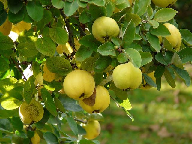 Pigwa - jak wygląda, jakie właściwości mają jej owoce?