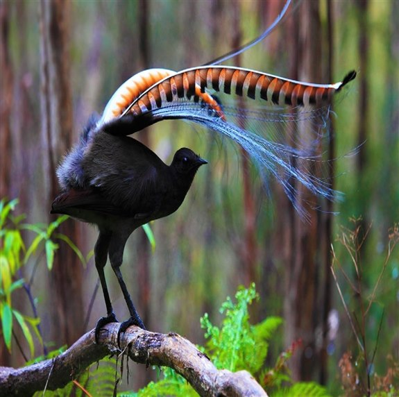 Lir kuşu - L Hayvan İsimleri