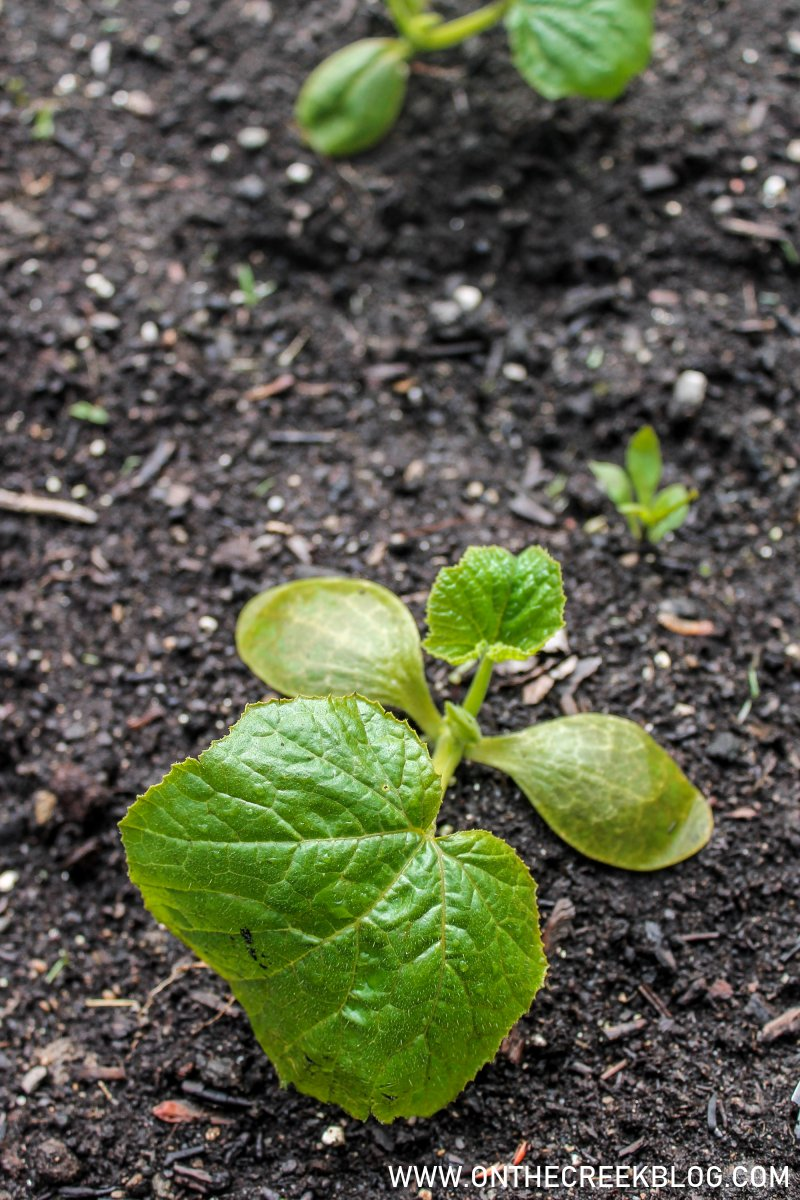 Planting squash in the garden | On The Creek Blog