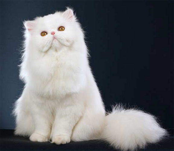 Persian Cats/kittens