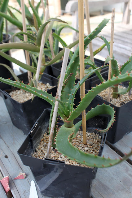 Aloe africana cutting