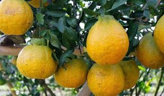 Cara Menanam Jeruk Dekopon, cara mencangkok buah jeruk Dekopon