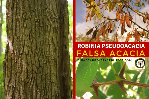 La Robinia pseudoacacia, falsa acacia, es una leguminosa tiene una longevidad que va desde los 60 a los 80 años