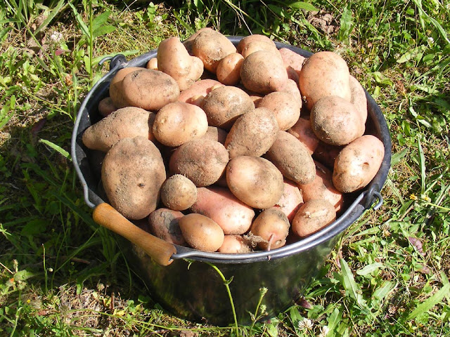 Homegrown Stemster potatoes. Photo by Loire Valley Time Travel.