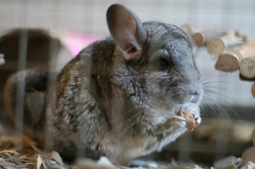 Chinchilla | The Life of Animals
