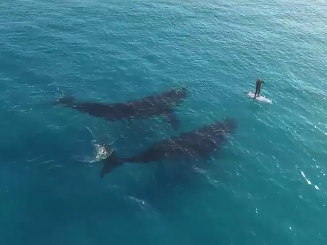 Impresionante video de ballenas decidiendo qué crear con un minúsculo humano