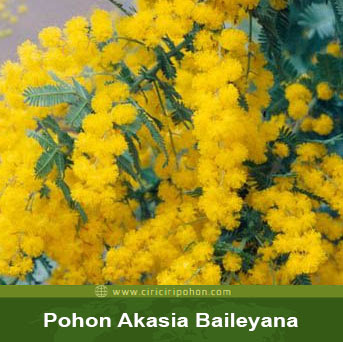 ciri ciri pohon akasia baileyana