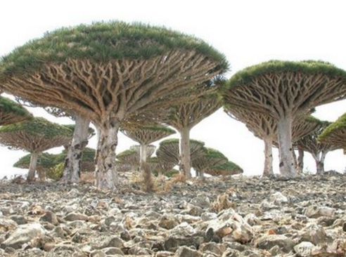 Pohon Darah Naga Di Pulau Socotra