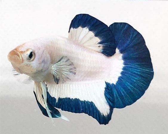 Ikan Cupang Blue Rim Betta - Ikanhiasku.net