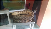 The legendary OMIERI-15foot long python weighing 75kg unveiled at Kenya National Museum's Snake Park (PHOTOs)
