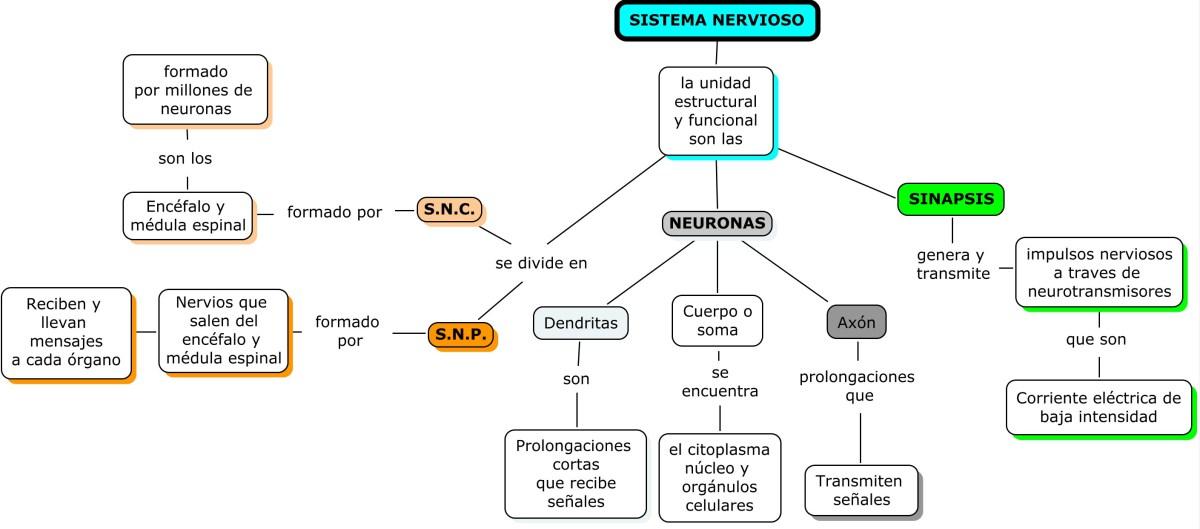 Lujoso Opinión De Hoja De La Anatomía Y La Fisiología De La Neurona ...