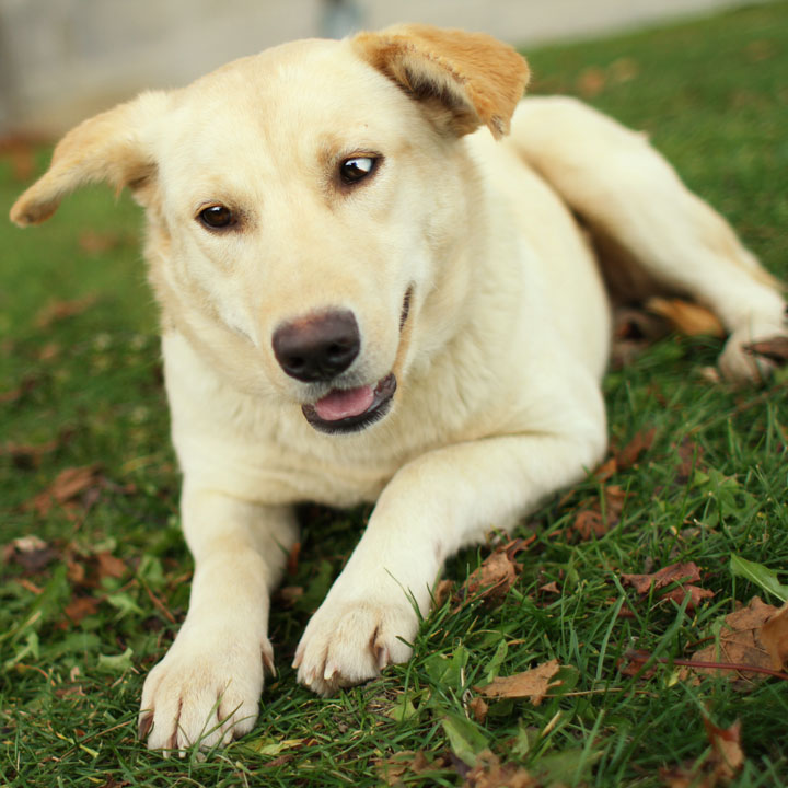 yellow lab mix puppies - photo #5