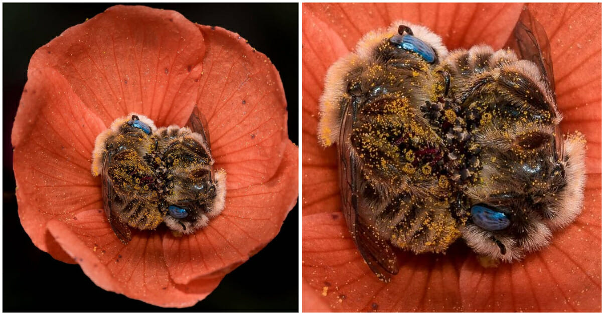 Photographer Discovers Bees that Sleep Cuddled Up Together in Flowers