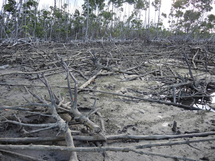 Cyclone damaged mangrove swamp