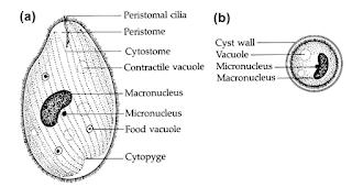 gambar Trofozoit, gambar kista, Balantidium colli