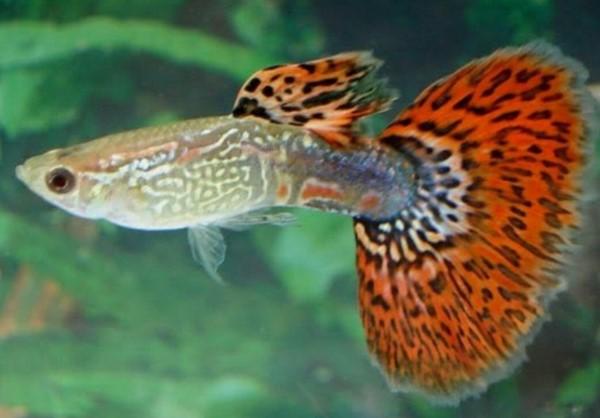 Fish Wikipedia 18 Types Of Guppy Fish