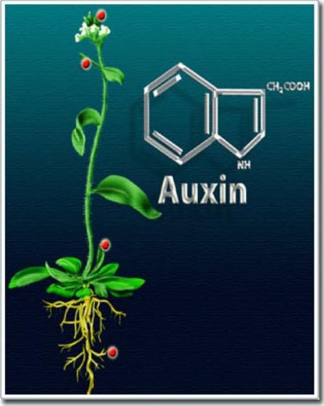 Hoocmôn kích thích Auxin trong thực vật