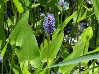 Pontédérie à feuilles en cœur - Pontederia cordata - Pontédérie cordée