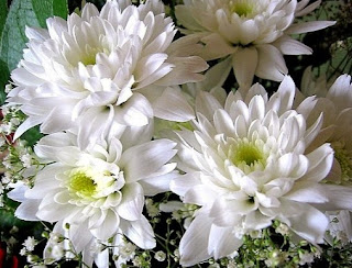 bunga krisan surabaya