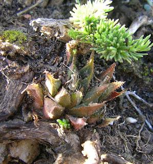 Haworthia sp R050220C - GM 707 N/W Diepkloof N/E Potberg (related to maraisii/floribunda)