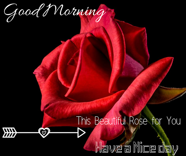 a red rose Good Morning  Images