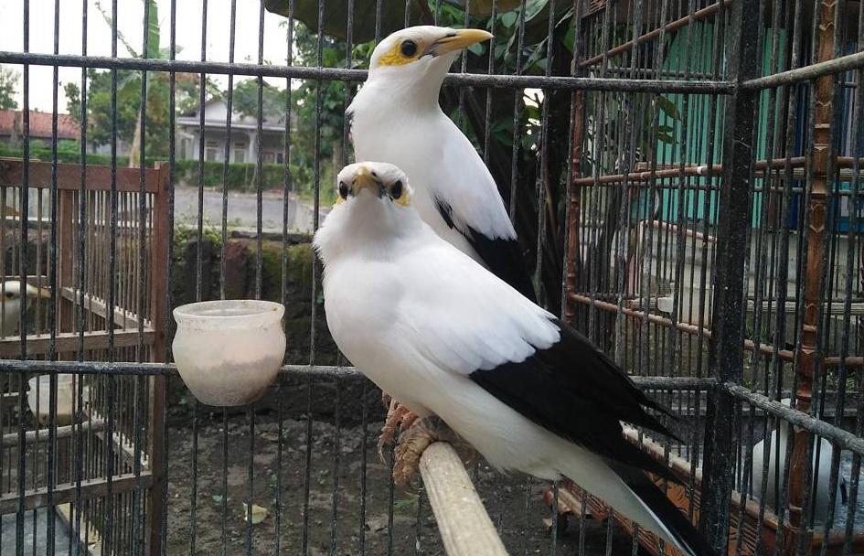 Harga Burung Jalak Putih
