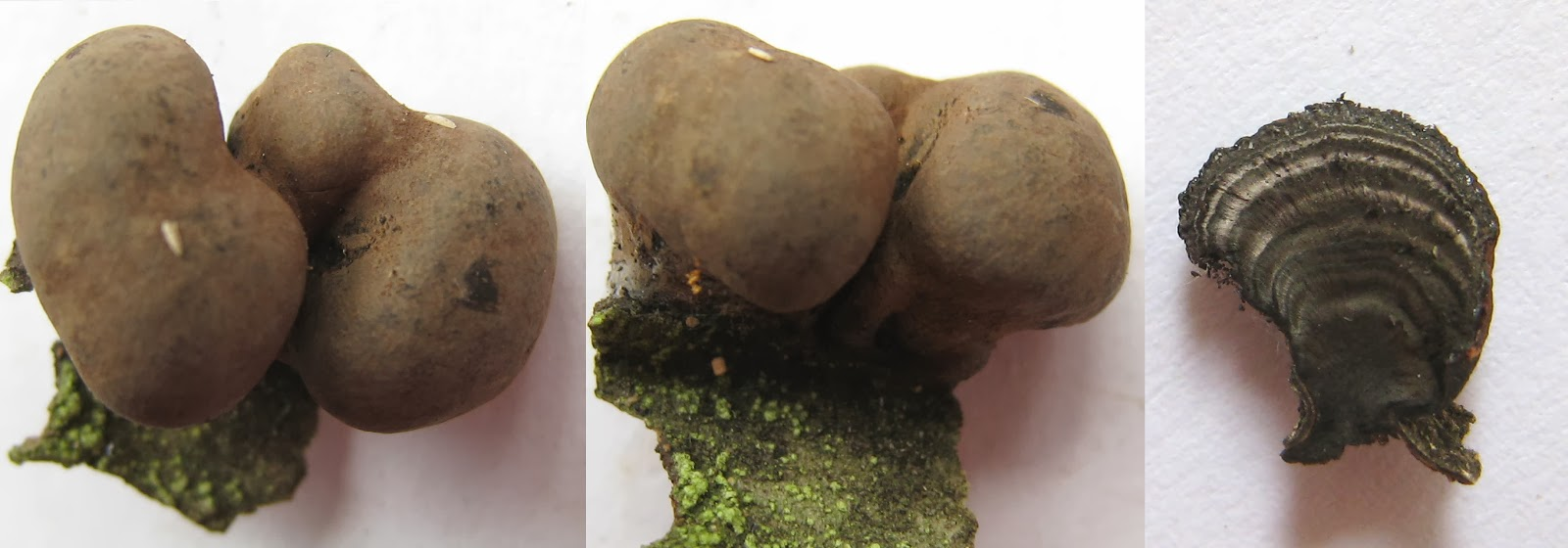 Daldinia whole and cut in half