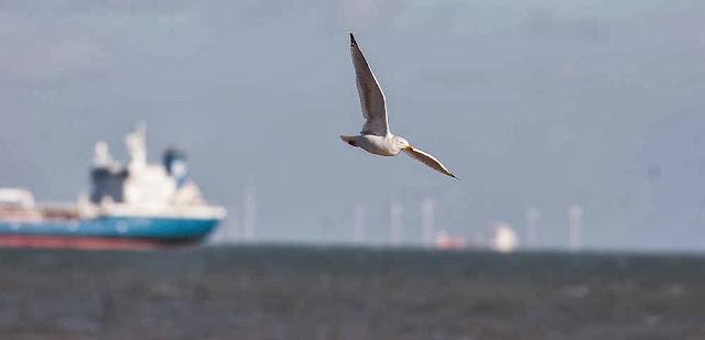 Herring gull flying over ships and wind turbines in Margate, UK
