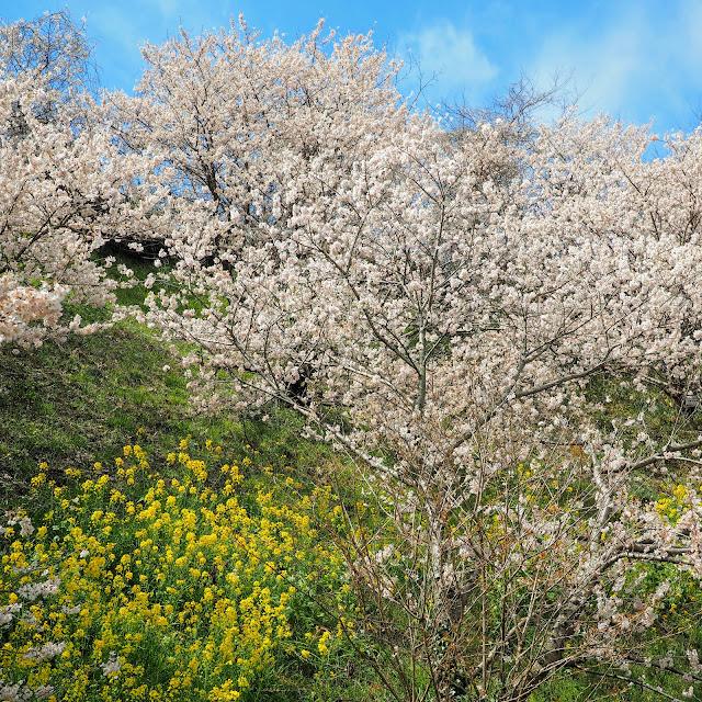 一ノ堰ハラネ 春めき桜