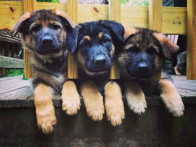 Weaning German Shepherd Puppies