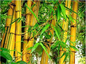 Bambu Kuning - tanaman penangkal santet guna-guna ilmu hitam