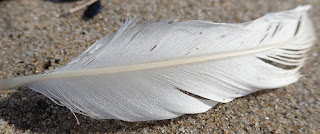 a white feather lies on it's side