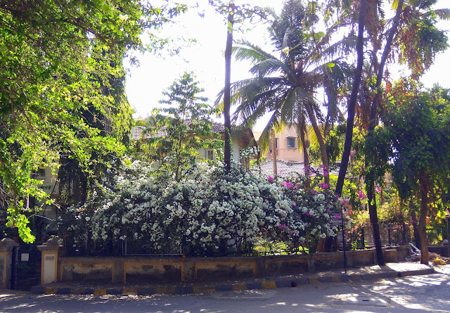 trees, bougainvillea, flowers, greenery, house, compound, street, Mount carmel road, bandra, mumbai, incredible india,