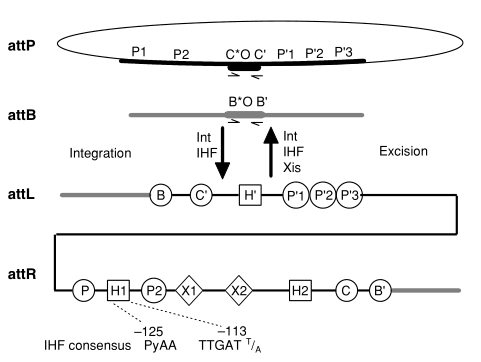 Phage Lambda Integration